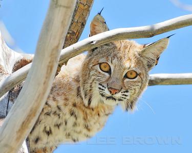 Bobcat #3, Big Morongo Preserve, San Bernardino co, CA. 4-17-11.