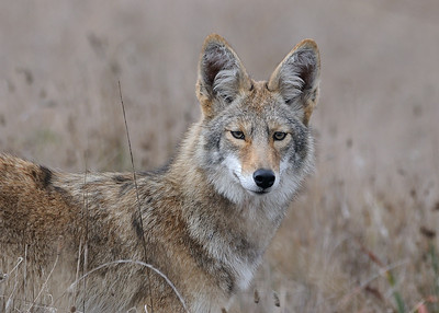Coyote, Pt. Reyes, Marin co, CA, 10-19-10.